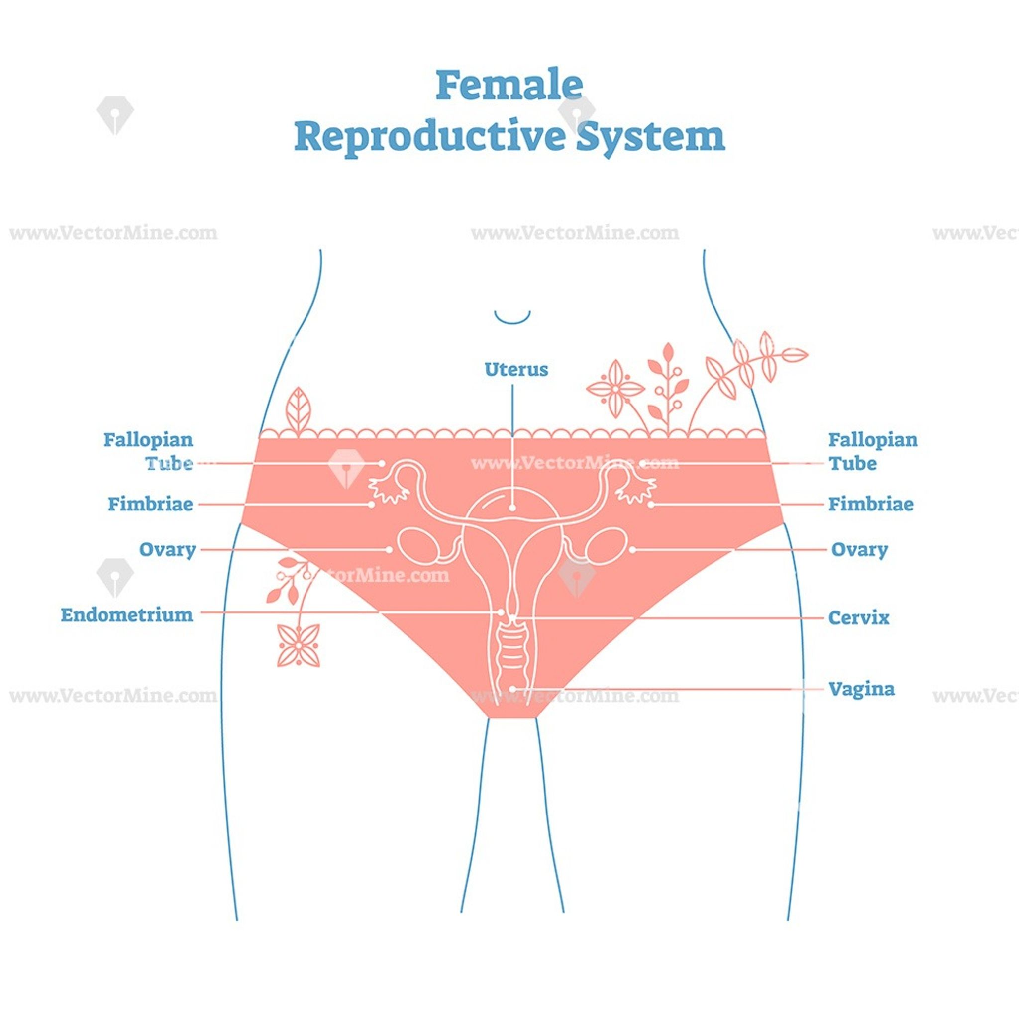 Artistic style female reproductive system vector ...