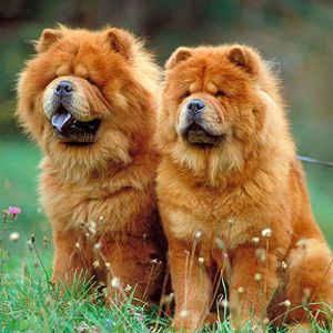 The 5 Least Intelligent Dog Breeds In North America Chow Chow