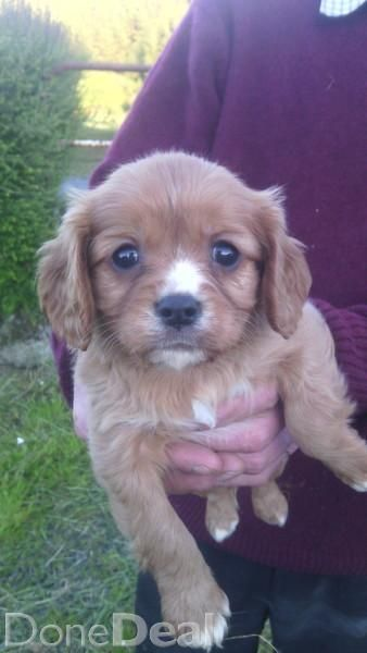 4 Lovely Cavalier King Charles Pups For Sale 2 Male And 2 Female 3
