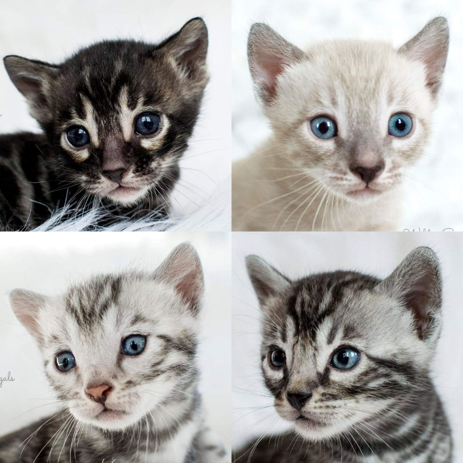 Bengal Kittens Cats For Sale Near Me Wild Sweet Bengals In 2020 Bengal Kitten Bengal Kittens For Sale Kittens