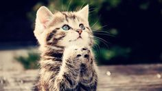 Animals Praying Kitten Kitten Cat Hd Wallpapers Download