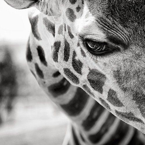 Giraffe Face GIRAFFES Girafes Animaux Photo