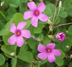 shamrock flower - Google Search