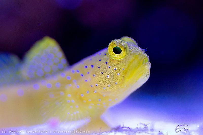Yellow Watchman Goby Cryptocentrus Cinctus Salt Water Fish Tank In 2020 Salt Water Fish Marine Fish Tanks Saltwater Aquarium Fish