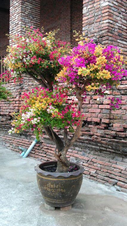 Bougainvillea Bonsai With White Gold Pin Red And Purple Colors In Thailand By Paul Zeiji Google Belos Jardins Jardins Pequenos Ideias De Jardinagem