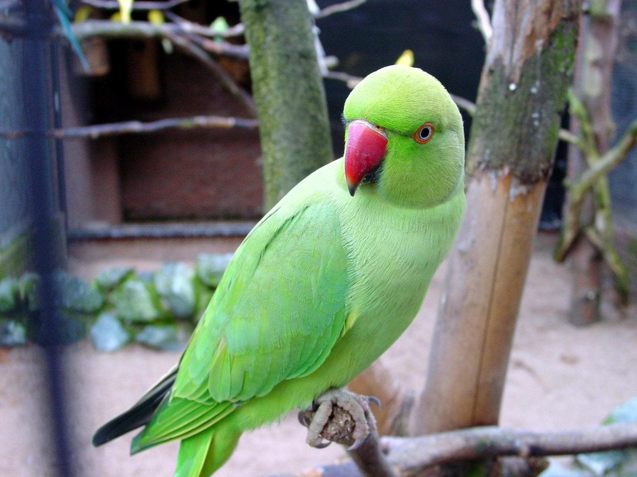 Parot Wallpapers Green Parrots Wallpaper Feathers Parrot Wallpaper Ring Necked