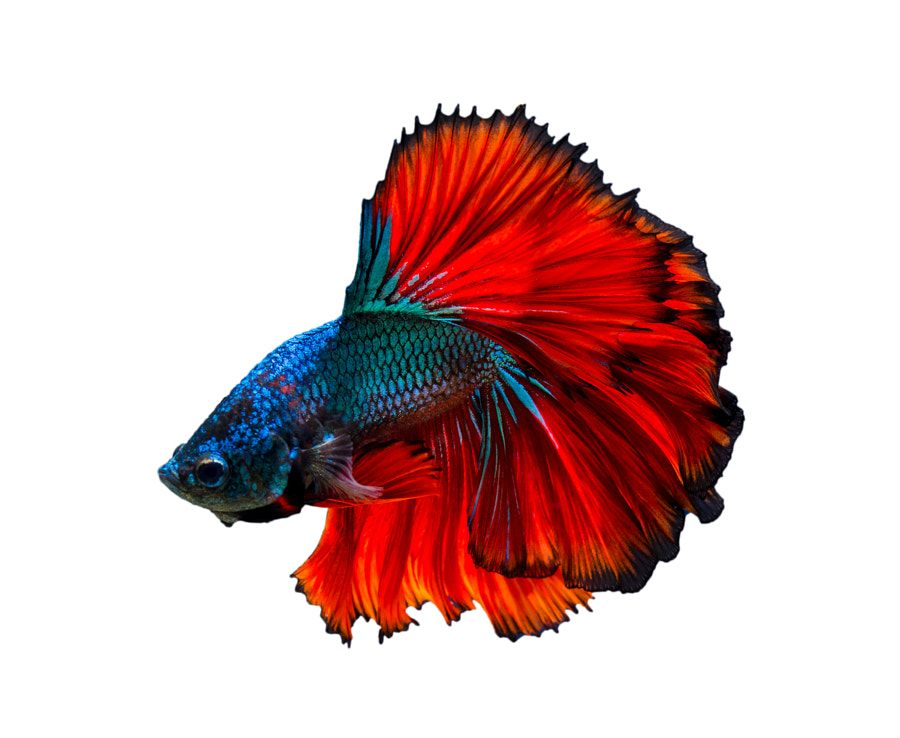 Fighting Fish Red Blue White Background Isolate By Sy Sarayut Blue White Background White Background Red White Blue