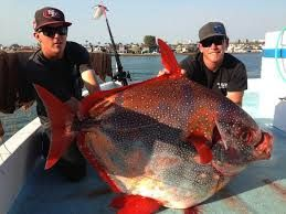 Opah Also Commonly Known As Moonfish Sunfish Kingfish Redfin Ocean Pan And Jerusalem Haddock Are Large Colorful Deep Fish Salt Water Fishing Cool Fish