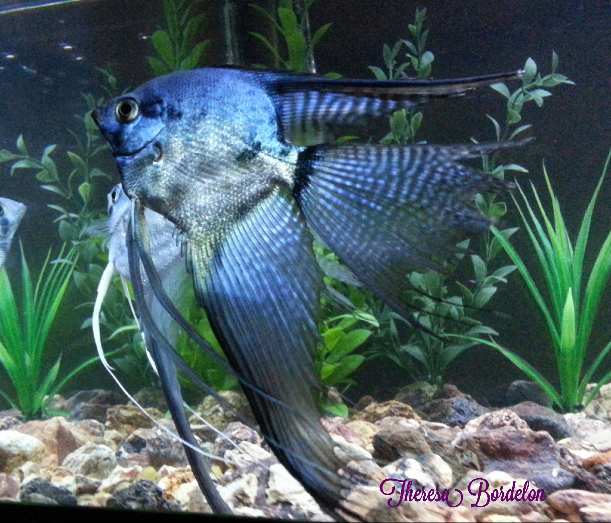 Freshwater aquarium fish angelfish - Pinoy Clown Angelfish Aquarium Aquascapefish
