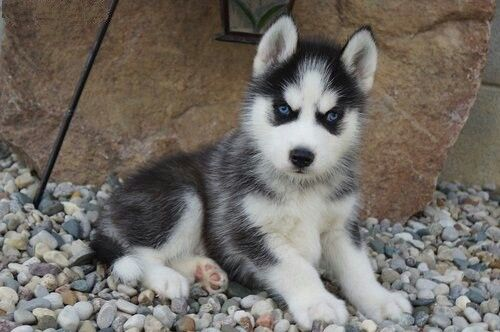 Pin By Reagan Savoie On Dogs Husky Puppy Dogs Puppies Cute