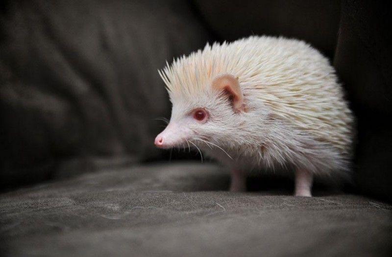 Toto Není Ten Klasický Ježek Kterého Potkáte V Lese Plného Blech - 22 adorable albino animals without colour