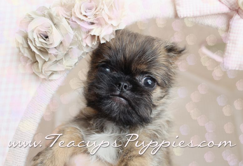 Adorable Brussels Griffon Puppy For Sale By Teacups Puppies Teacup Puppies Puppies Kittens And Puppies