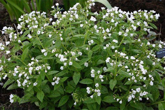 Pulmonaria Sissinghurst White 1 Foot Tall May Blooms