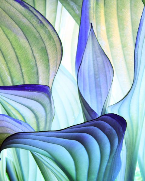 Blue Hosta Hostas Garden Shrubs Garden Plants
