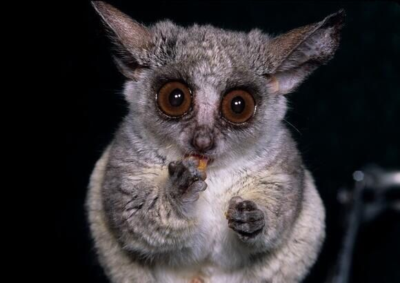 Bushbaby Top 10 Cutest Animals Cute Animals Animals