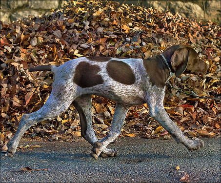 German Shorthaired Pointer - GSP - dog art portraits, photographs, information and just plain fun. Also see how artist Kline draws his dog art from only words at drawDOGS.com #drawDOGS http://drawdogs.com/product/dog-art/german-shorthaired-pointer-dog-portrait-by-stephen-kline/