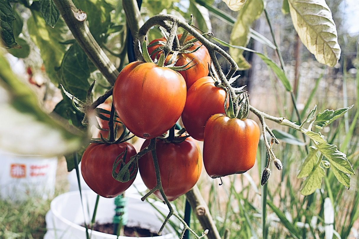 How to grow tomatoes from seed the house homestead
