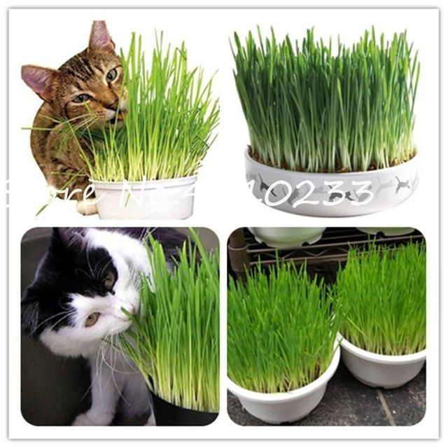 Sale ! 200 Pcs Cat Grass Bonsai Herb Edible Lemongrass