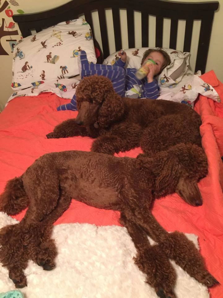 Clifford will be going to his new home soon! - Poodle Forum - Standard Poodle, Toy Poodle, Miniature Poodle Forum ALL Poodle owners too!