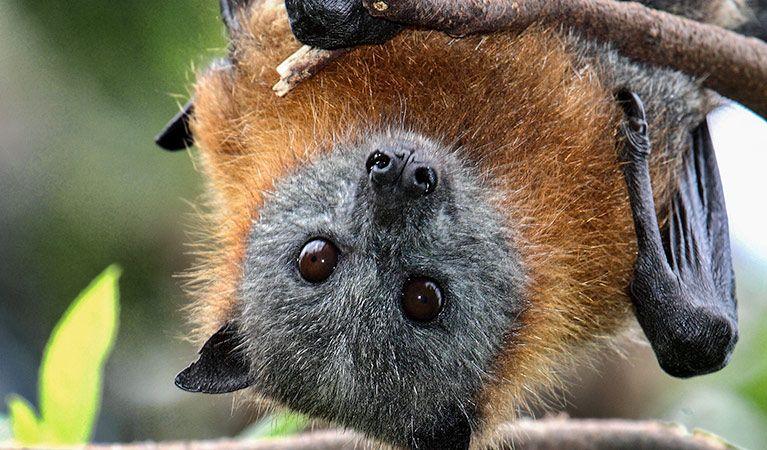 Wingham Brush Nature Reserve Bat Species Nature Reserve Animals