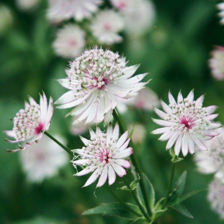 Sterndolde White Star 3 Pflanzen Jetzt Bestellen Bei Sterndolde Pflanzen Winterharte Stauden