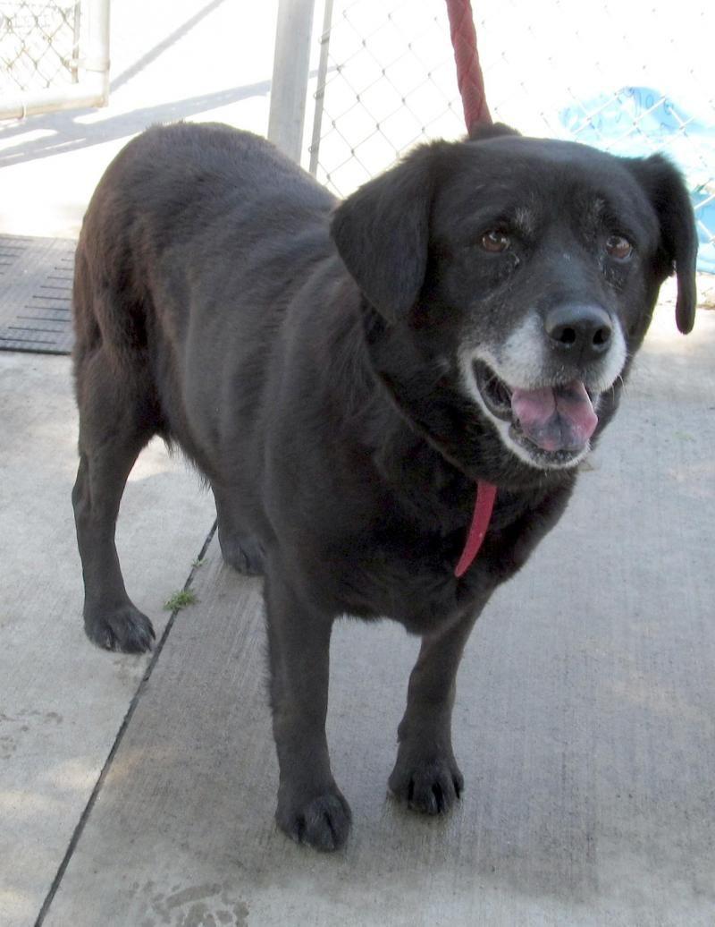Adopt 16 Amy/ADOPTED on Black labrador retriever