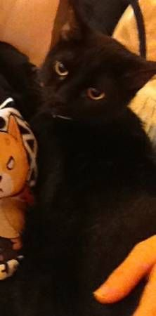 Lost Black Cat Missing Since Friday Oct 3 2014 Jak Is Slim
