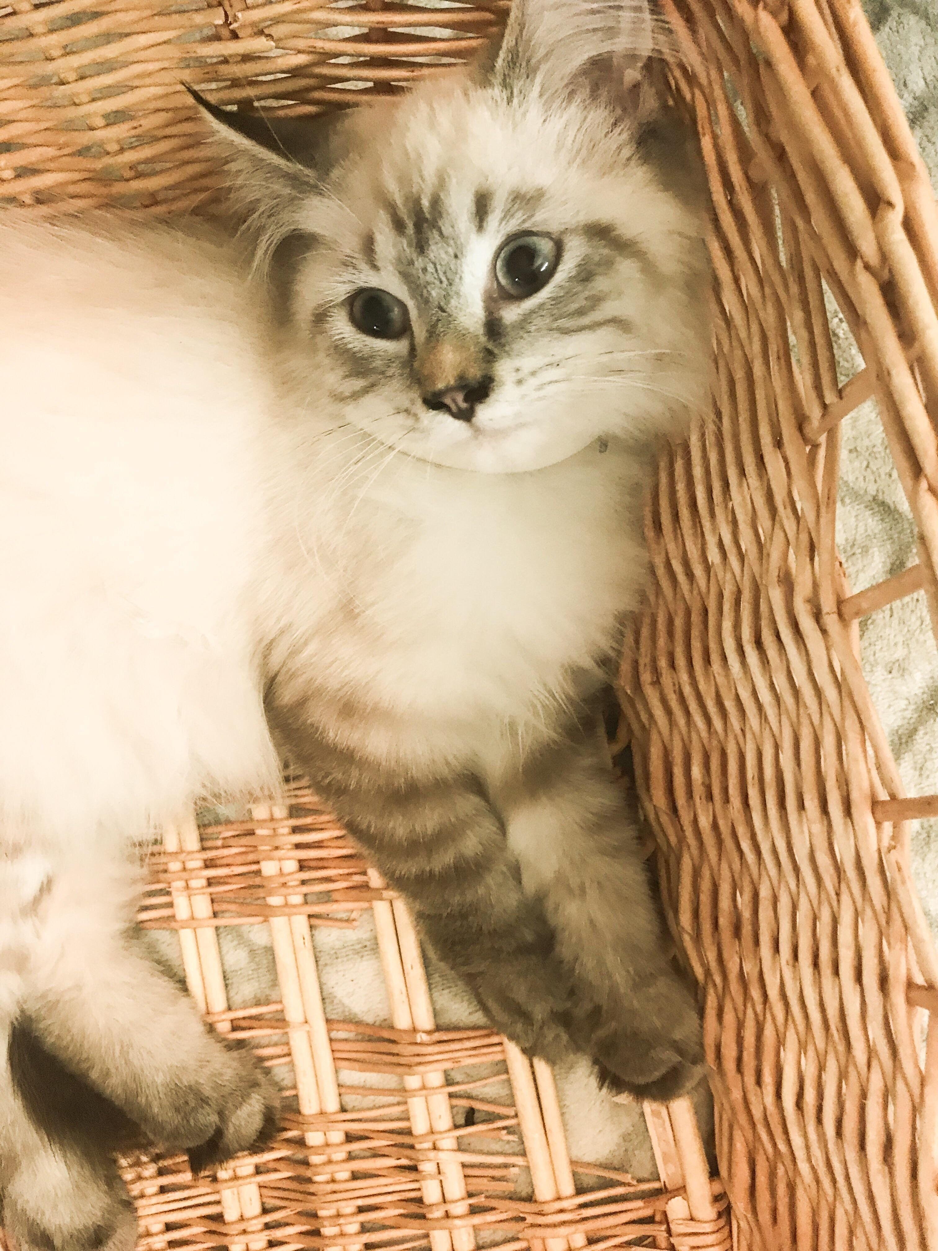 Kite The Ragdoll Kitten Pretty Cats Cute Animals Kittens Cutest