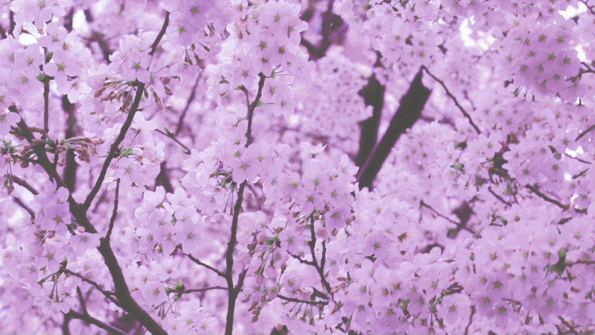 C H E R R Y B L O S S O M Cherry Blossom Wallpaper Cherry Blossom Background Cherry Blossom Japan