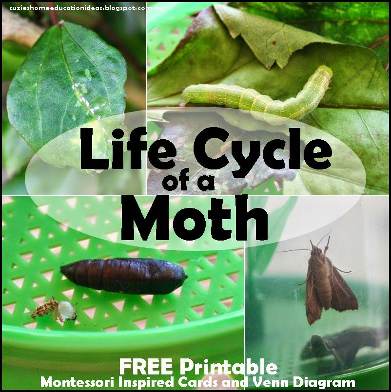 Life Cycle of a Moth - FREE Printables