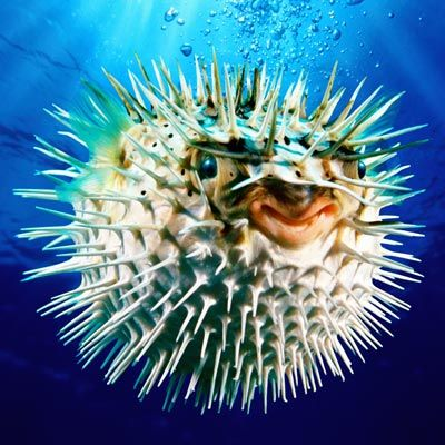 When a globefish, or pufferfish, is disturbed, it engulfs air or water into a special, inflatable part of the stomach. The balloon shape of a swollen fish apparently discourages attackers.