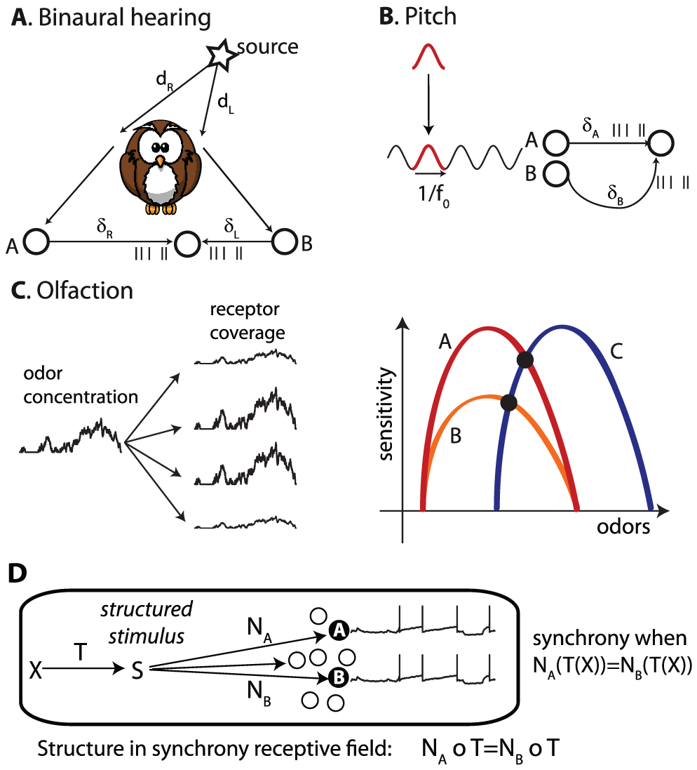 Structure And Synchrony Computing With Neural Synchrony Neurons Communicate Primarily With Spikes But Most Theories Of N Neurons Sensory Processing Coding