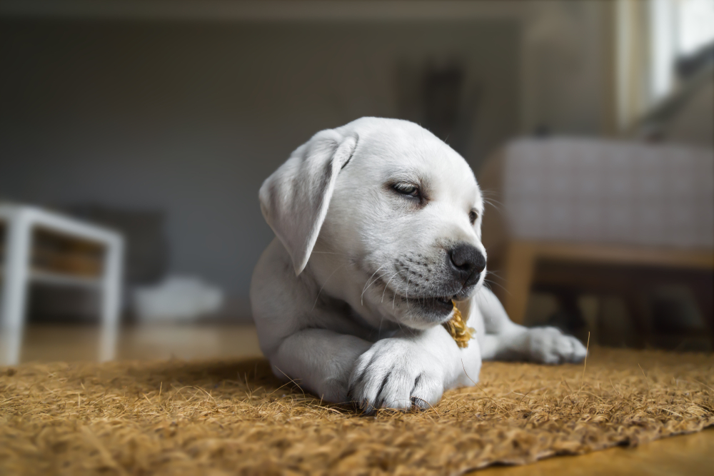 Young Cute My Dog Puppy Is Eating Some Foodhttps I Redd It Zu3s0nzt0n121 Png Puppies Labrador Puppy Dogs