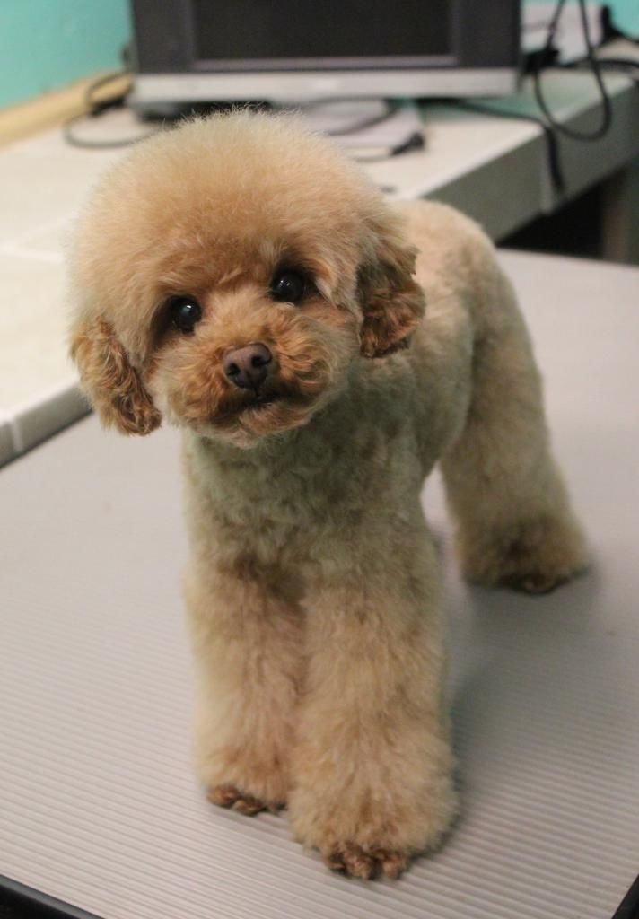 What're your favorite clips? - Page 3 - Poodle Forum - Standard Poodle, Toy Poodle, Miniature Poodle Forum ALL Poodle owners too!