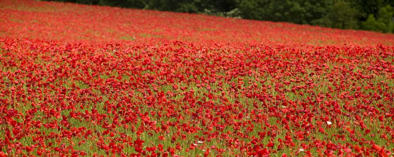 SHAKESPEARE'S SCENERY:  some thing to cheer us up on this dank evening, poppies galore.