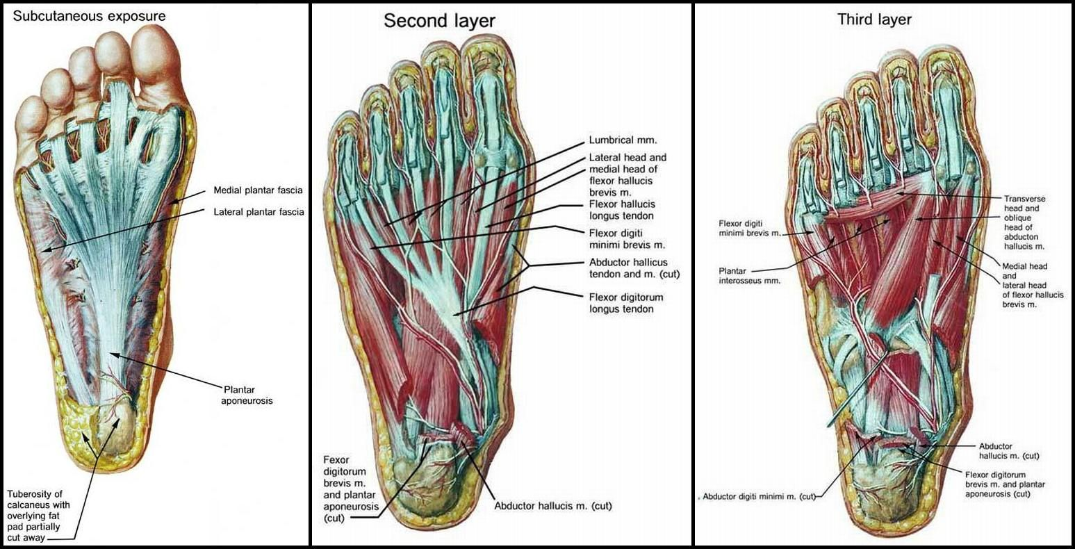 Is your abductor hallucis muscle killing you? This foot arch muscle ...
