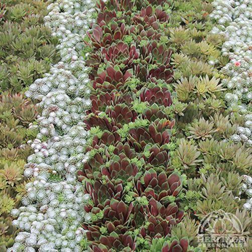 Sempervivum hybrids medley