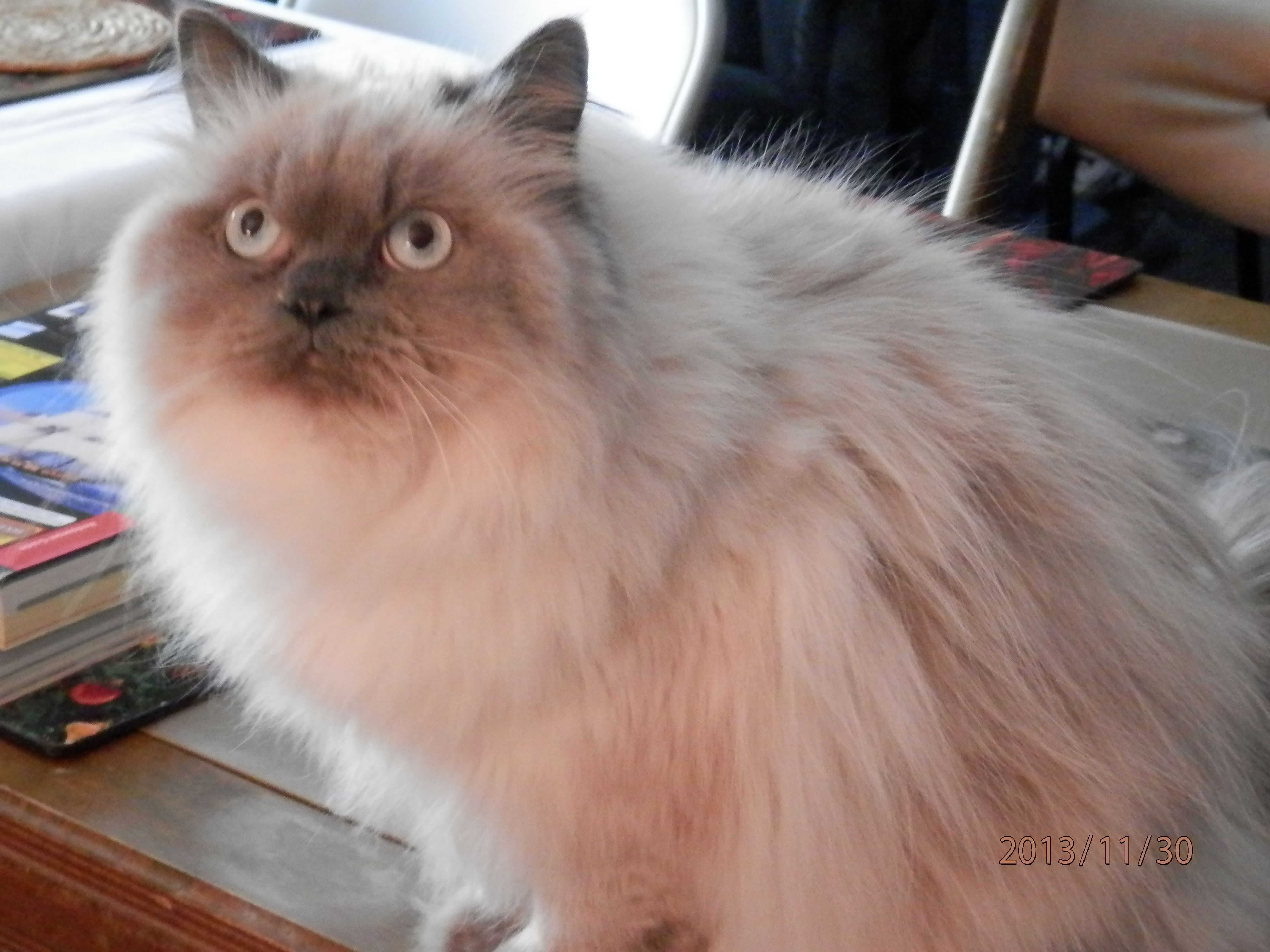 Ziva 4 Year Old Blue Point Himalayan Persian Himalayan Persian Cats Persian Cat Cats