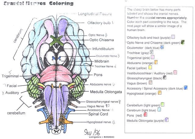 Cranial Nerves Coloring Answer Key Human Brain Cranial Nerves Anatomy Coloring Book