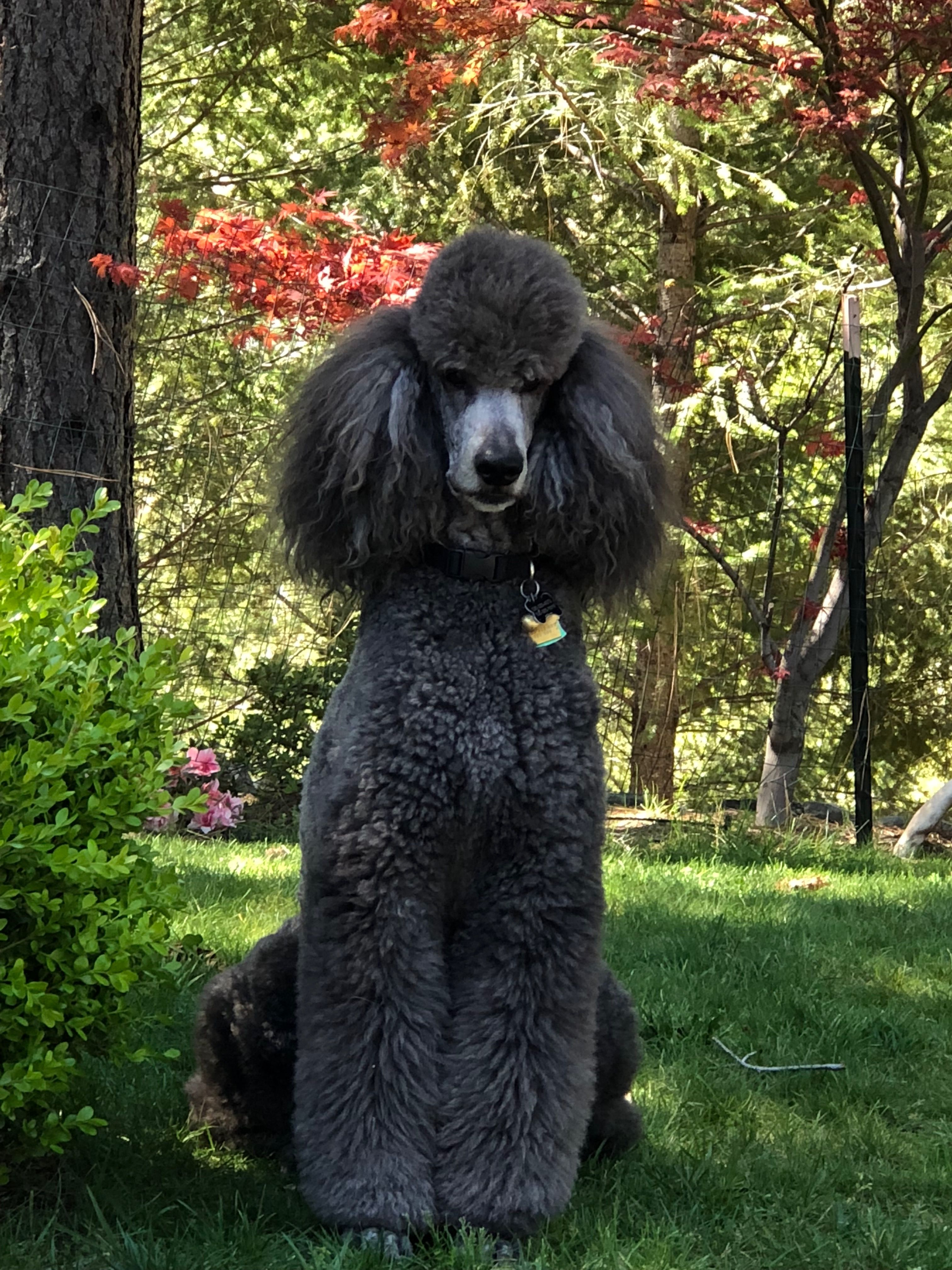 Pin By Mary Ellen Armstrong On Poodles Fancy Gorgeous Poodle