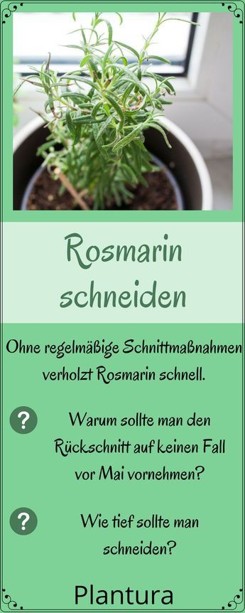 Rosmarin pflege