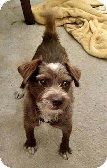 Pictures Of Barnaby A Chihuahua Wirehaired Fox Terrier Mix For