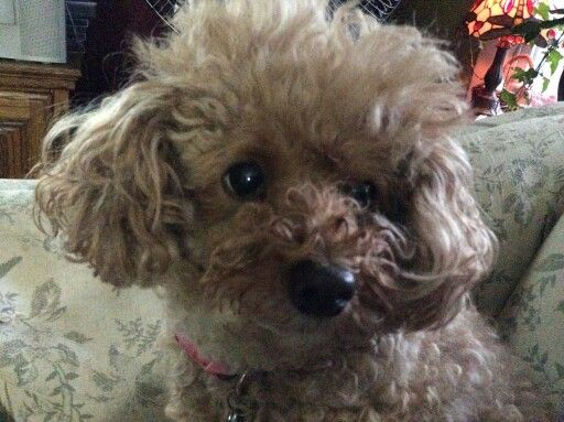 A Face Of A Toy Poodle Cute Dogs Miniature Poodle Toy Poodle