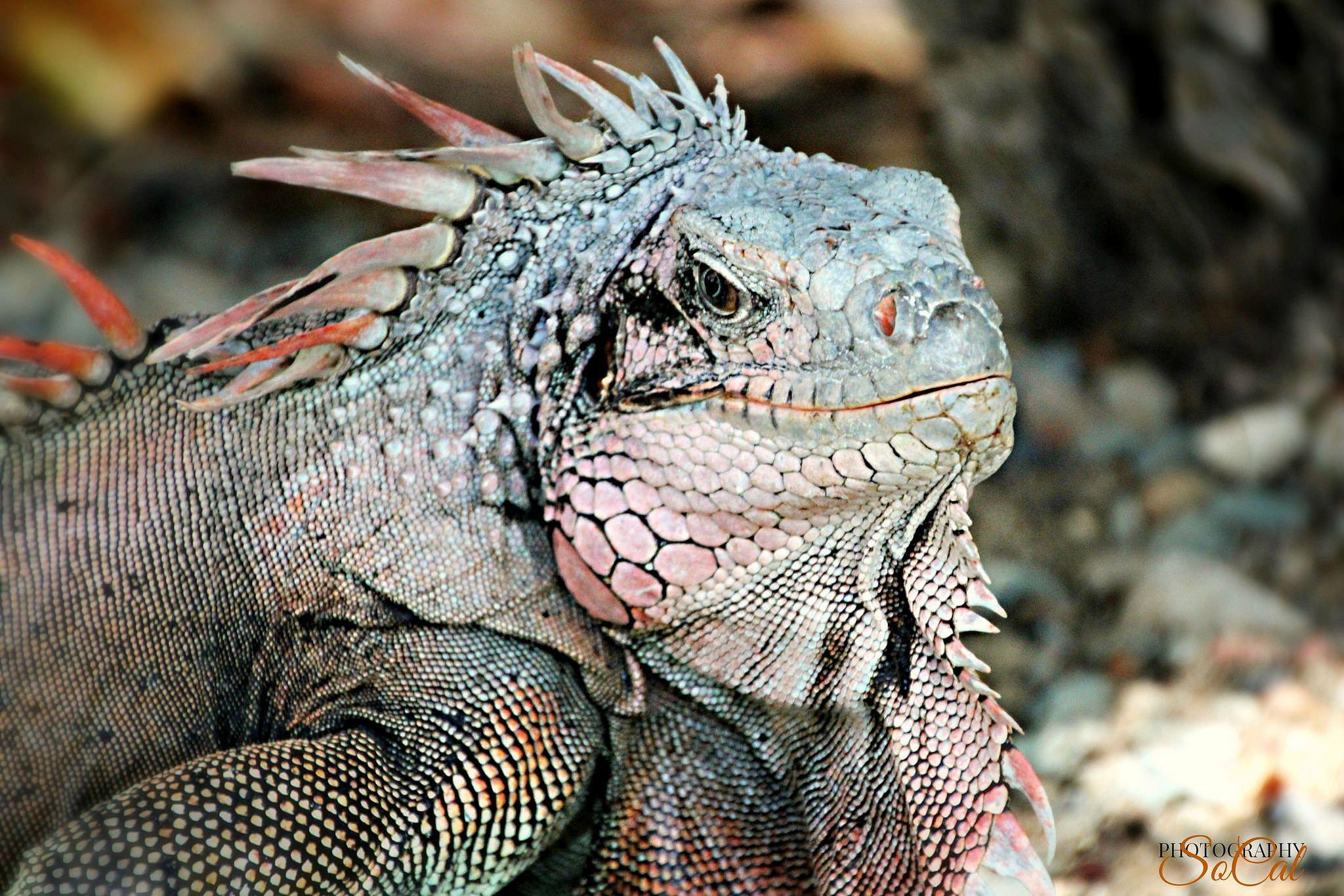 Big Kahuna | Iguana on St. Thomas by Carolyn Landi
