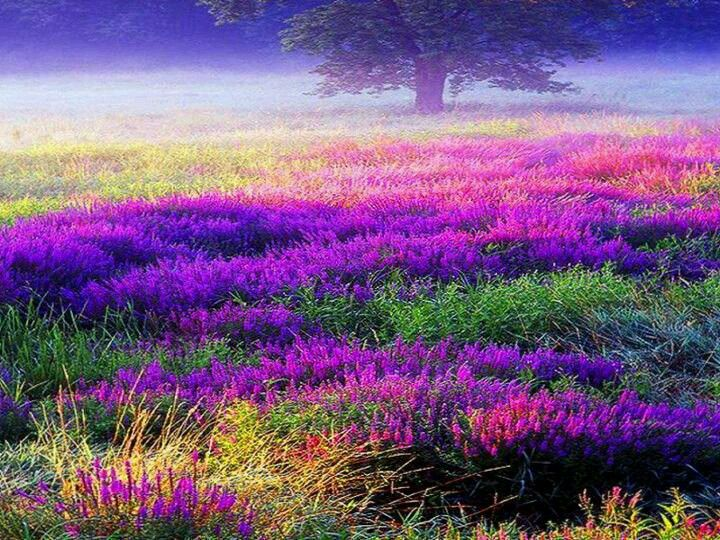 Scottish Heather-Would love to see in person some day!