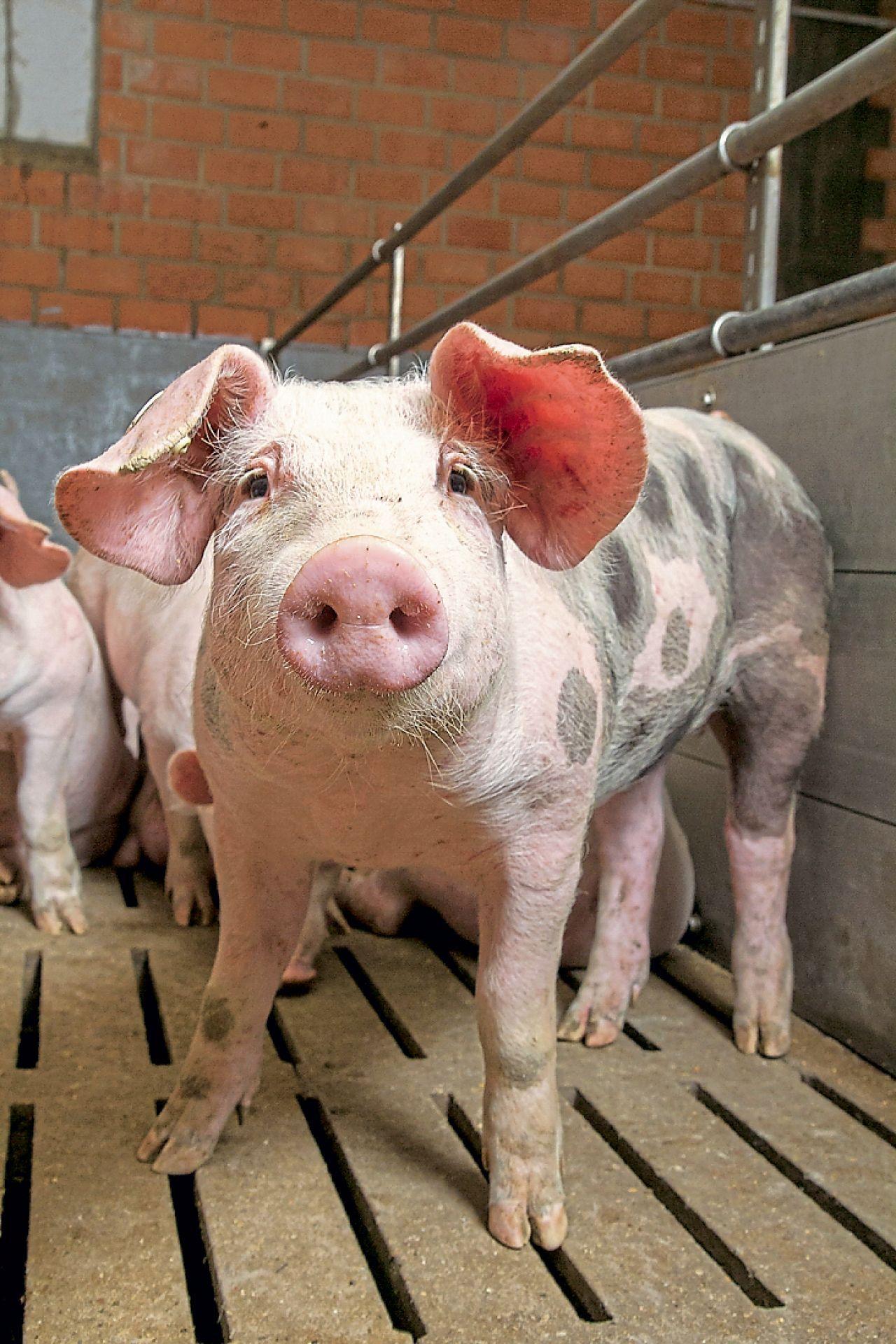 Wie Sehen Schweine Aus