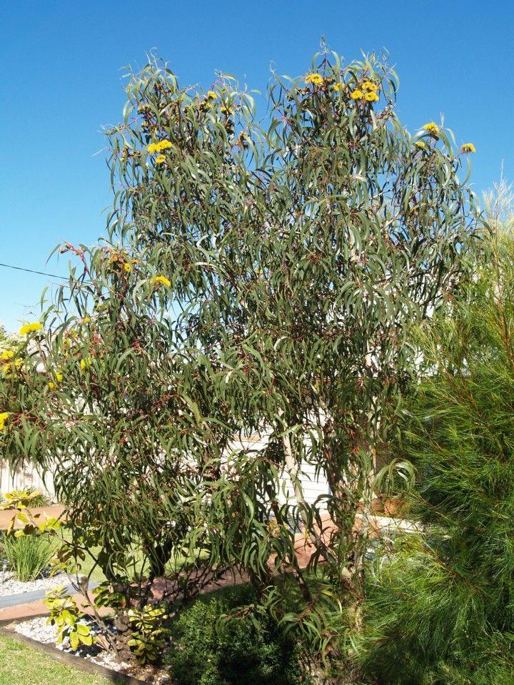 Eucalyptus Erythrocorys Small Mallee Type Tree With 400 x 300