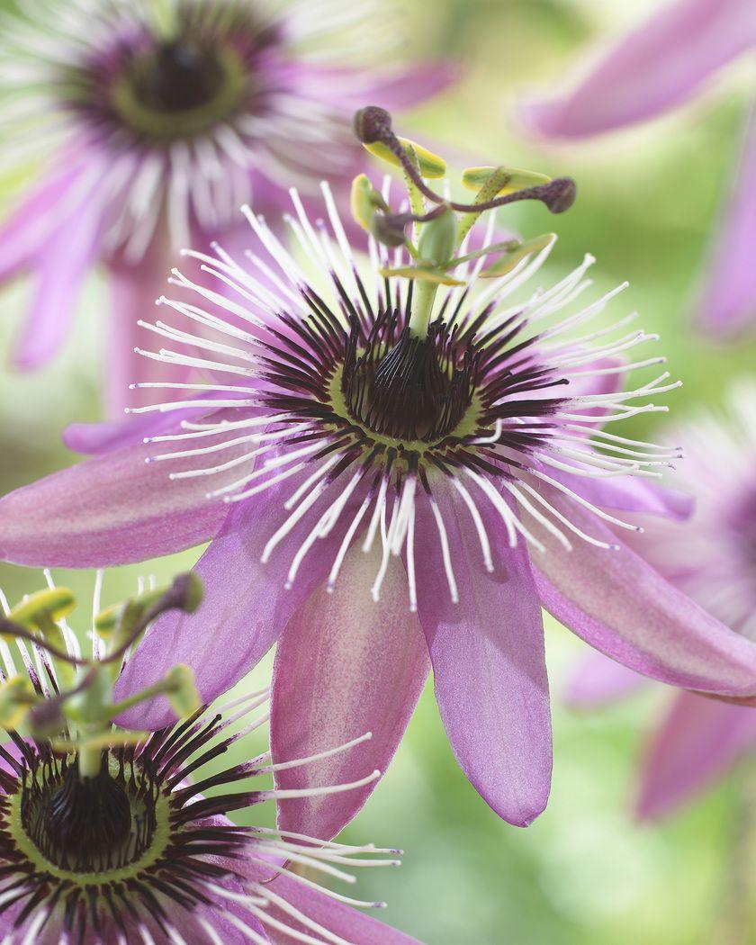 Passionsblume kletterpflanzen garten pinterest passionsblume blumen and pflanzen - Rankende zimmerpflanzen ...