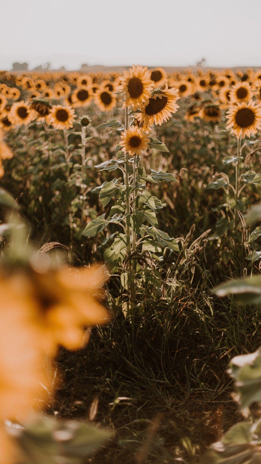 Yellow Flower Field Aesthetic