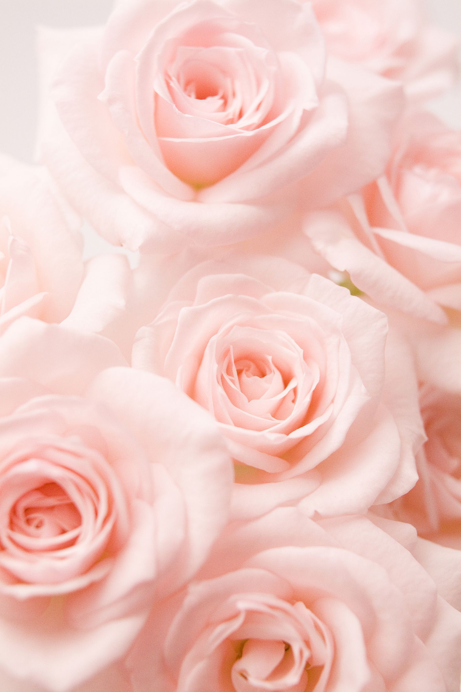 Light Pink Rosesgoodhousemag Rose Rose In 2020 Flower Aesthetic Rose Color Meanings Light Pink Rose